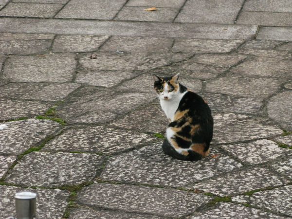 Day Domestic Animals Domestic Cat Japanese Cat Nature No People One Animal Tortoiseshell Cat