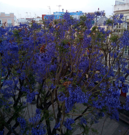 Alba Vida Violeta Architecture Beauty In Nature Blooming Blossom Building Exterior Cielo Close-up Day Floresta Flower Flower Head Fragility Freshness Growth Hanging Hojas Y Ramas Matiz Nature No People Outdoors Oxigeno Plant Purple Semilla Springtime Tree