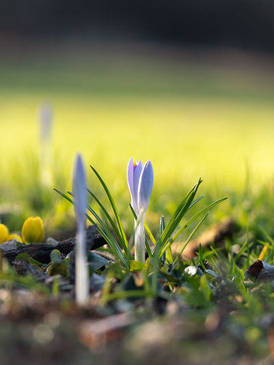 Plant Growth Vulnerability  Freshness Flower Fragility Selective Focus Beauty In Nature Flowering Plant Close-up Land Field Nature Green Color Day No People Petal Outdoors Flower Head Crocus Iris Purple