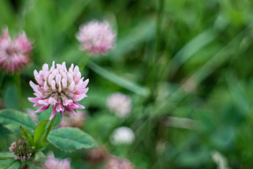 Beauty In Nature Blooming Close-up Day Flower Flower Head Focus On Foreground Fragility Freshness Growth Leaf Nature No People Outdoors Petal Pink Color Plant