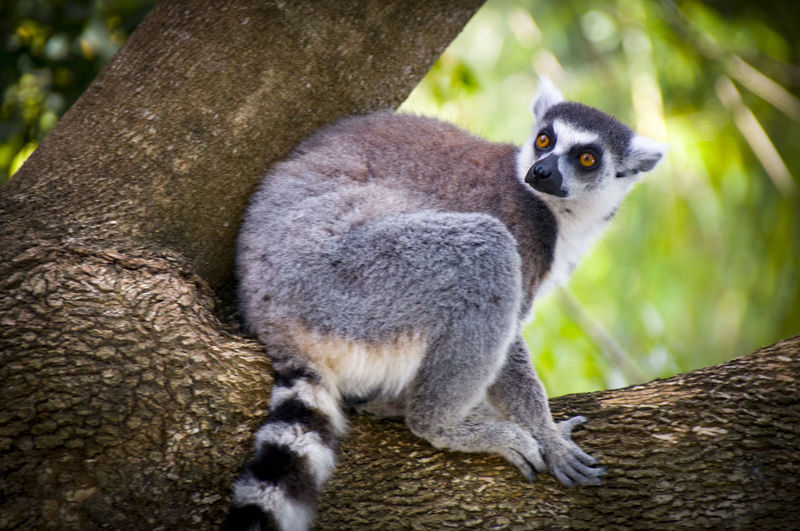Portrait of lemur sitting on tree trunk