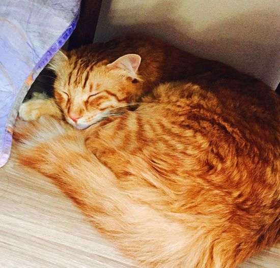 Kiddy Cat Cat Lovers Mainecoon House Istanbul Sweet♡