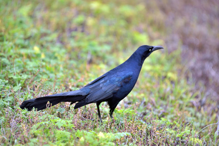 Brewer's Blackbird 1 Coyote Hills Regional Park Marsh Tidal Wetlands Wildlife Refuge Marshlands Brewer's Blackbird Euphagus Cyanocephalus Icteridae Forager Males  Birds🐦⛅ Birdwatching Bird Photography Birds_collection Orinthology Forages In Shallow Water Or Fields Nature Nature Collection Beauty In Nature Close-up Landscape Grass Bird Animal Wildlife