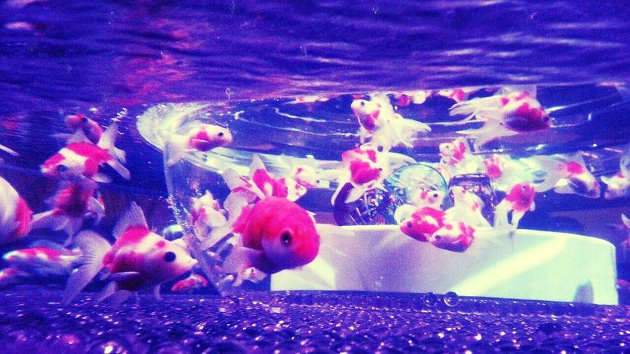 金魚♥ Goldfish きんぎょ Art
