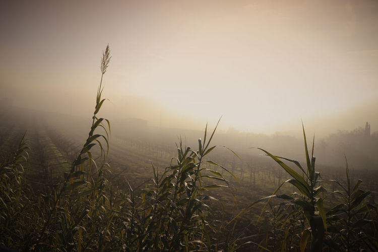 Flat Land Tranquil Scene Plant Beauty In Nature Land Agriculture Scenics - Nature No People Landscape Environment Outdoors Cereal Plant Fog Rural Scene Sunset Field