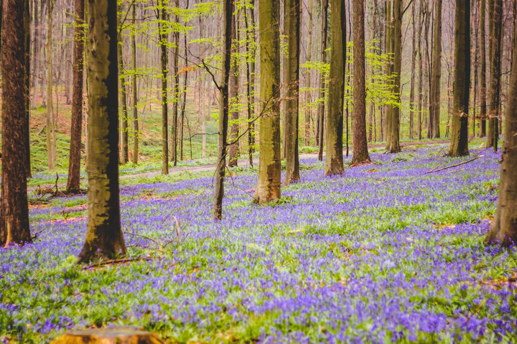 Beautiful Nature Beauty In Nature Blossoming  Flower Flowers Forest Forest Photography Hallerbos Nature Nature Nature_collection No People Outdoors Plant Purple Purple Flowers Tree Wilderness Area Woods The Great Outdoors - 2017 EyeEm Awards