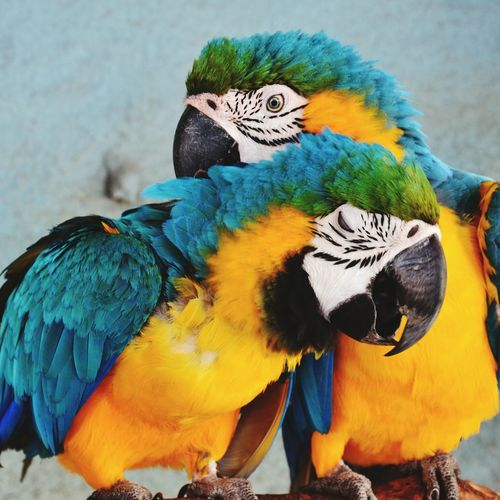 Close-Up Of Gold And Blue Macaws