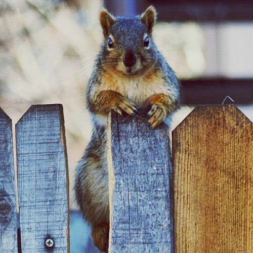 I'm going crazy... Just want to cuddle that naughty little thing. Squirrel Cute Littlething Hellolittlecutie Standing There Starring At Me Animal Love EyeEm Nature Lover