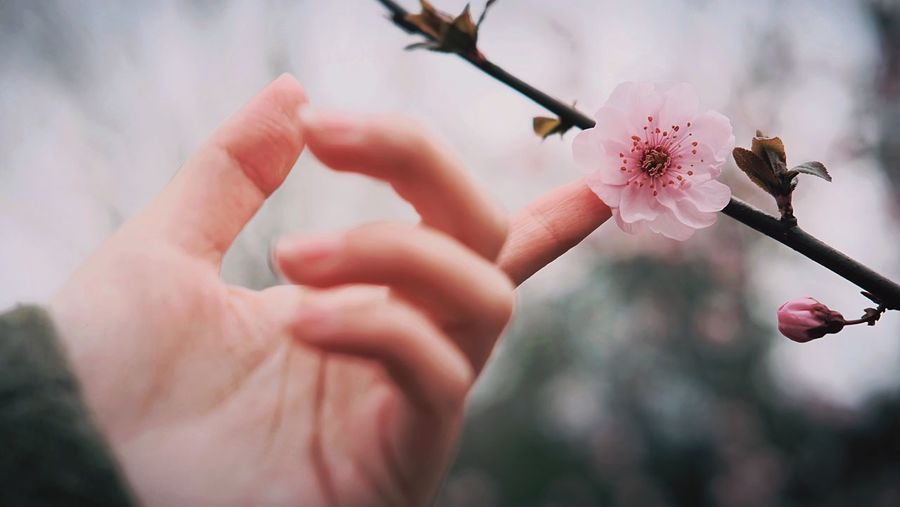 Cropped Hand Touching Cherry Blossoms