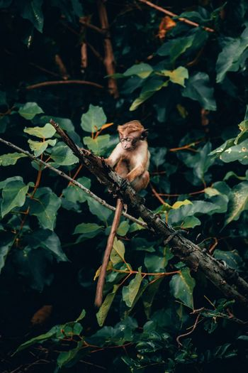Monkey in Sri Lanka Monkey Sri Lanka Animal Themes Animal Animal Wildlife One Animal Animals In The Wild Vertebrate Plant Nature No People Plant Part Leaf Tree Green Color Outdoors Branch Day Perching Growth Close-up Land
