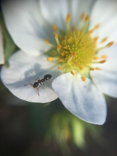 Ant Botany Flower Insect Macro Nature No People Strawberry