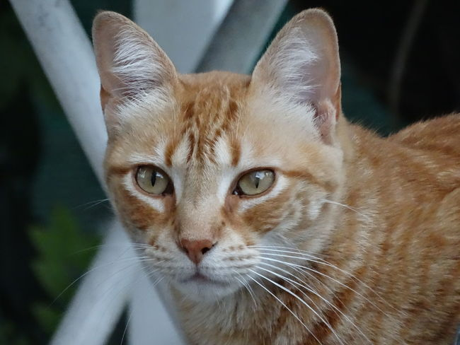Domestic Cat Domestic Animals Pets One Animal Animal Themes Portrait Mammal Looking At Camera Feline Close-up Whisker No People Indoors  Day