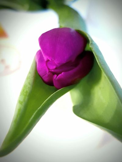 single purple Tulip lying on white Table. Focus on Tulip Head. From a low Angle. ... Purple Purple Flower Single Flower Tulip Leaf Tulip Head White Background Colorful Colourful Flower Flower Head Studio Shot Leaf Close-up Green Color Blooming In Bloom Plant Life Botany Tulip