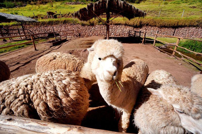 Alpacas at farm on sunny day