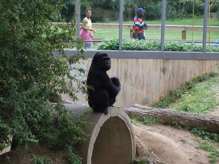 Balance Carefree Curious Escapism Gorilla Leisure Activity Looking Recreational Pursuit Sitting Zoo