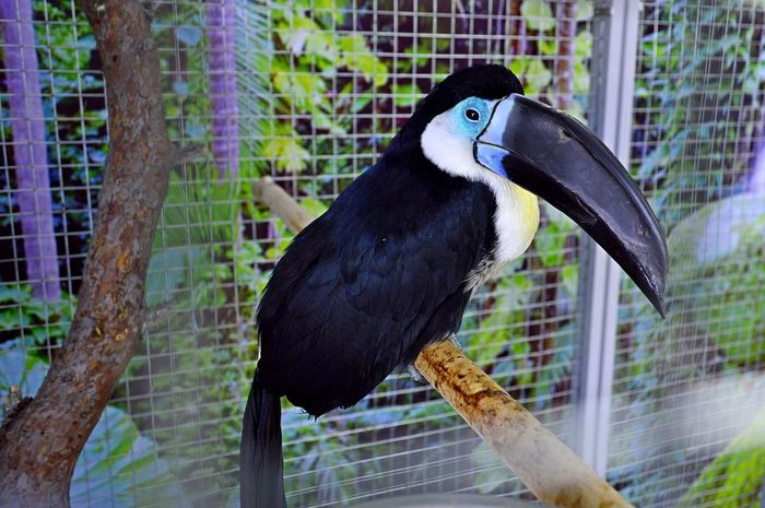 Animal Themes Animal Wildlife Animals In Captivity Animals In The Wild Beak Bird Cage Close-up Day Focus On Foreground Hornbill Nature No People One Animal Outdoors Perching Trapped Tree