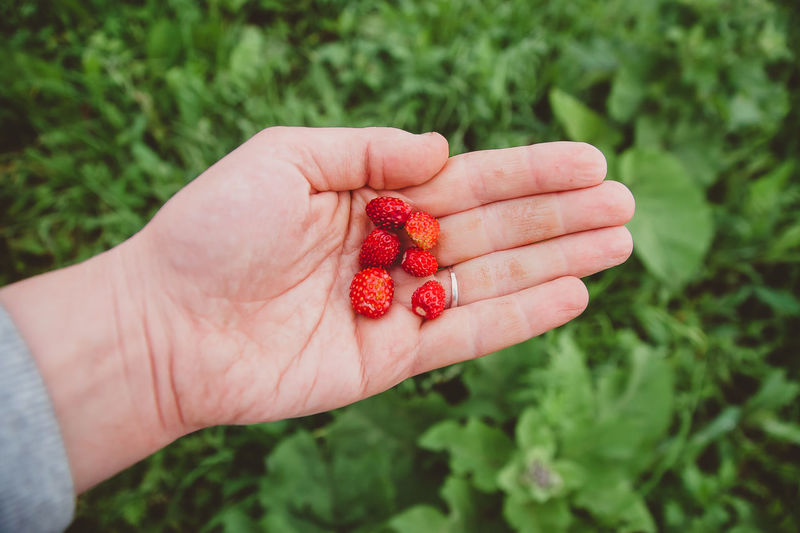 Strawberries lie in the palm of your hand. a green farm worker harvests