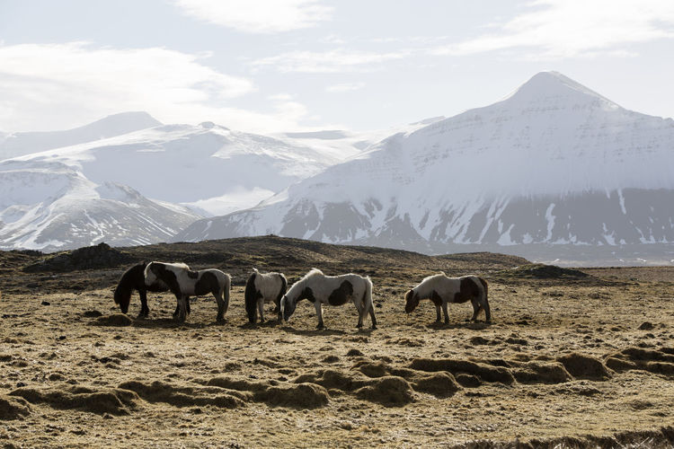 Horses grazing on field against mountains and sky