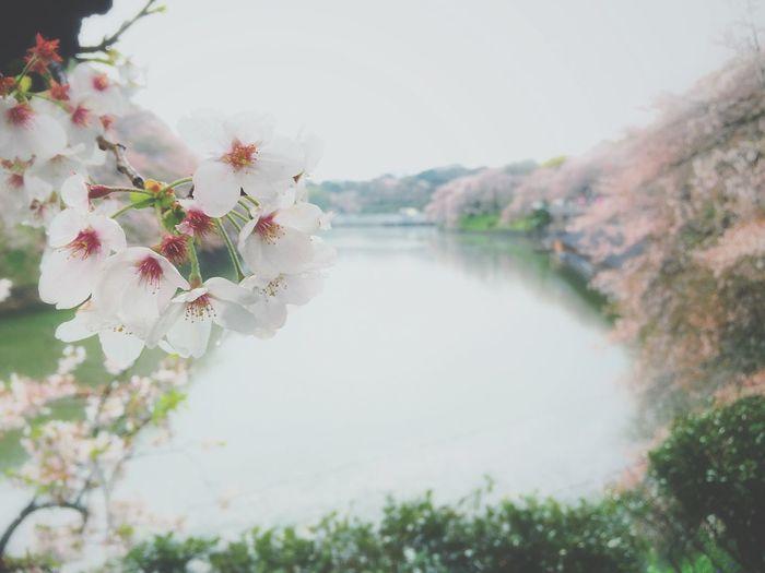 雨の千鳥ヶ淵をテクテクと… ソメイヨシノ Beautiful Day Spring Flowers Enjoying Life Eye Em Nature Lover Sakura2015 桜 千鳥ヶ淵 Relaxing Spring