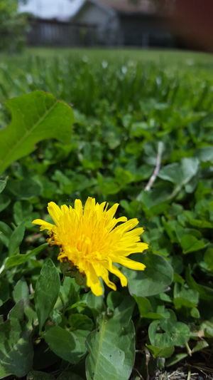 Flower Leaf Yellow Fragility Nature Petal Freshness Plant Flower Head Green Color Close-up Day Outdoors Beauty In Nature No People Growth Summer Iowa Growth Freshness Plant Nature Rural Scene Green Color Beauty In Nature