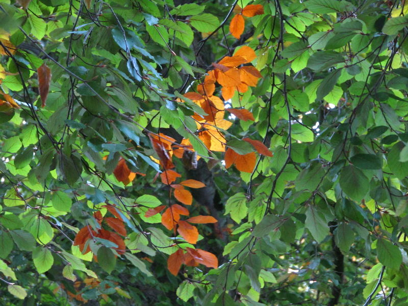 Leaf Nature Tree Autumn Growth Change Beauty In Nature Orange Color Green Color Outdoors Day Changing Colors Autumn Tree Nature On Your Doorstep No People Nature