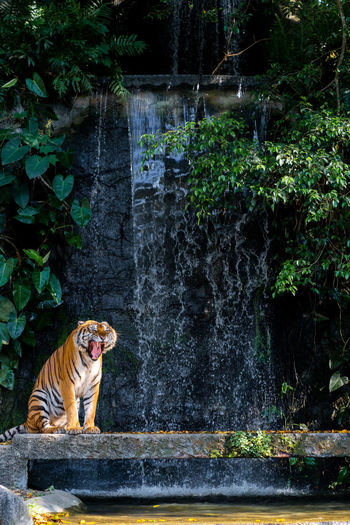 Roaring tiger standing front of waterfall Mammal Animal Themes One Animal Animal Plant Vertebrate Water Tree Nature Day Feline Cat Tiger Animal Wildlife Animals In The Wild Big Cat Forest Waterfall Looking No People Outdoors