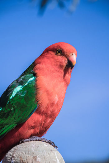Close-up of parrot perching on blue sky