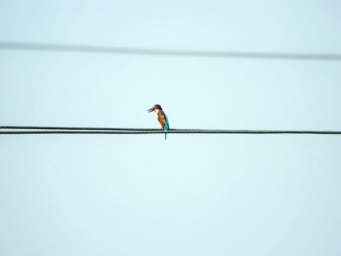 NikonCoolpixL120 Photography. Kingfisher The Birds Series Bird On The Wire Birds Of Prey Birds Of EyeEm  Bird & Sky Leading Lines Learn & Shoot: Leading Lines White Background White Album White Collection Negetive Space Fine Art Power Line  Bird On Wire Minimalism Minimalobsession Minimalism Photography Close Up Wildlife EyeEm Best Shots - Macro / Up Close Miniature Bird Watching Open Beak Me, My Camera And I High Voltage Line