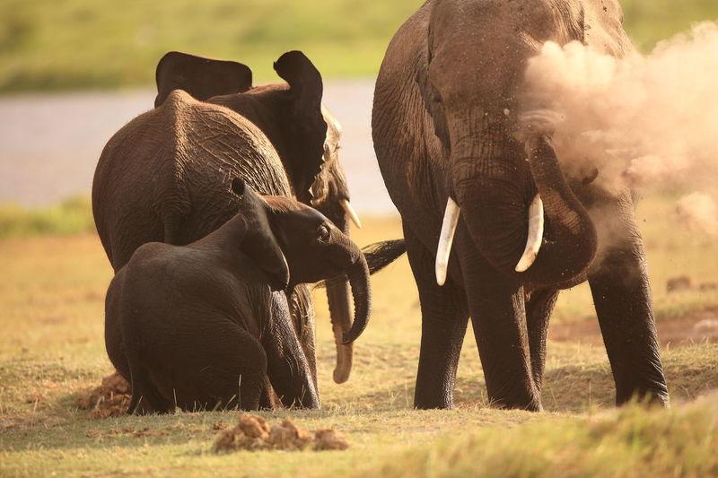 Elephants playing in Amboseli NP, Kenya Africa Amboseli National Park Animal Behavior Animal Themes Bathing In Sand Dust Elephant Behavior Elephant Family Elephants Elephants Bathing Elephants Playing Herbivorous Mammal National Parks Kenya Wildlife