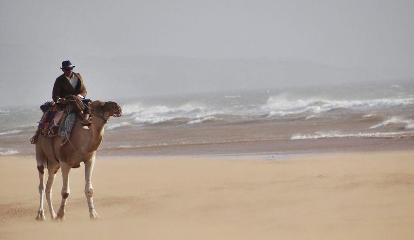 Dromedary Morocco Sidi Kaouki Beach