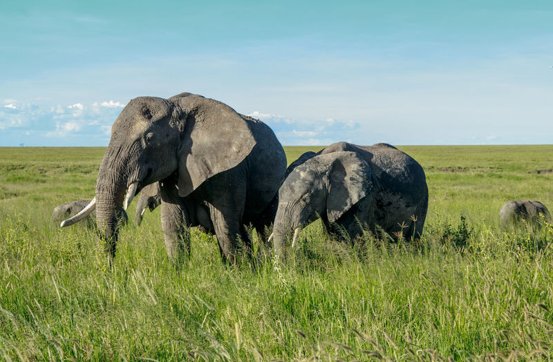 An african elephant with its calf