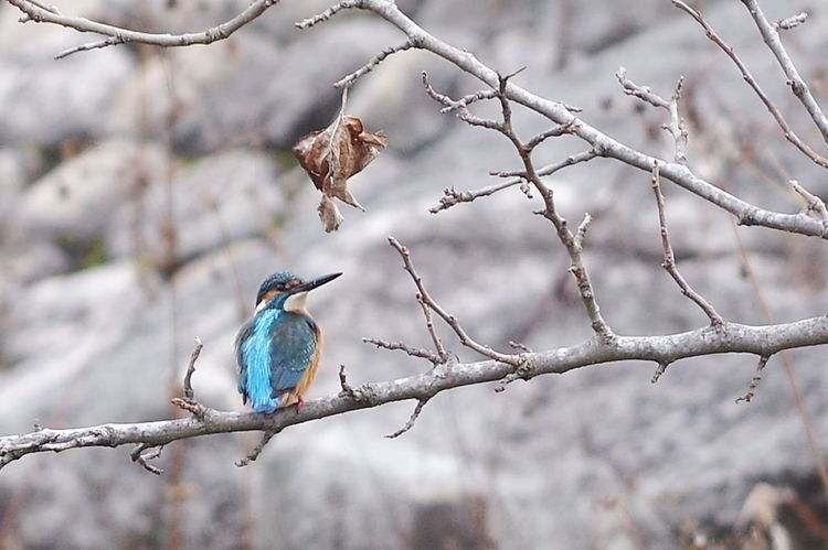 Kingfisher Bird Nature カワセミ カワセミのいる風景 翡翠 Bird Animal Animal Wildlife Wilderness Nature Beauty In Nature One Animal