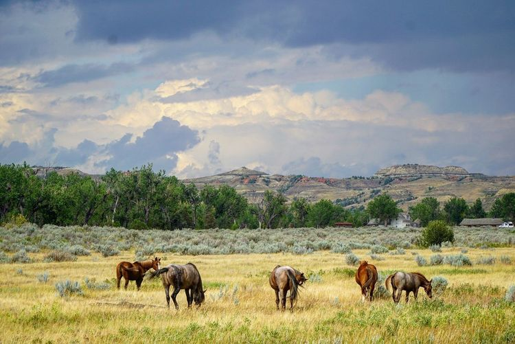 The Week On EyeEm Agriculture Mountain Animal Landscape Grazing Cattle Nature Rural Scene Cloud - Sky Tree Outdoors Field Livestock Animal Wildlife Animals In The Wild Sky No People American Bison Sunset Beauty Theodore Roosevelt National Park National Park Wild Horses North Dakota Breathing Space