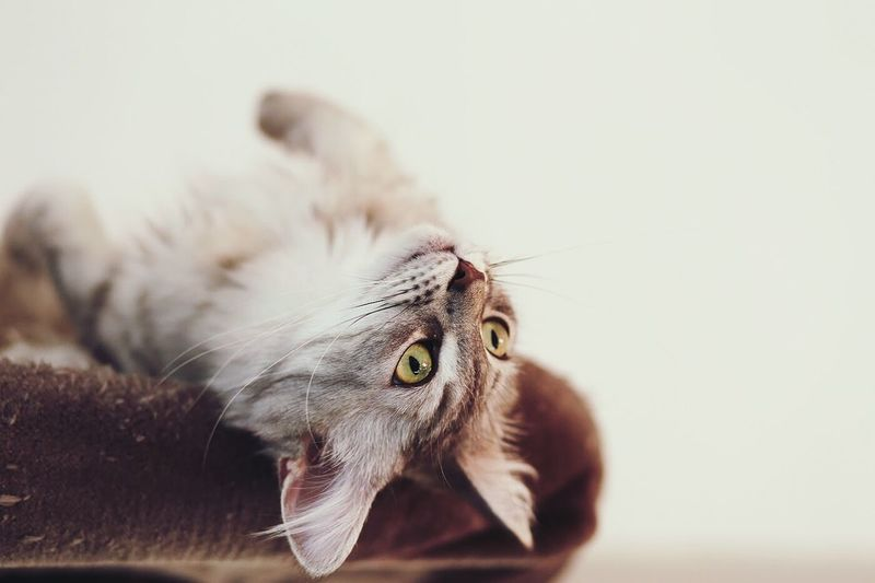 Close-up of upside down cat looking away at home