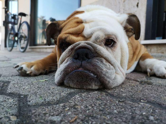 Close-up portrait of a dog sleeping on footpath