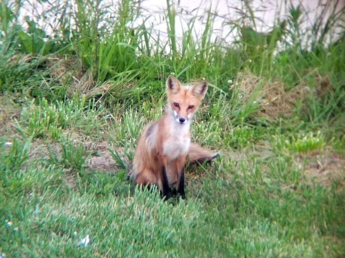 Found a fox near our property which present the perfect opportunity for a photograph Fox🐺 Nature Day Outdoors Animal No People First Eyeem Photo