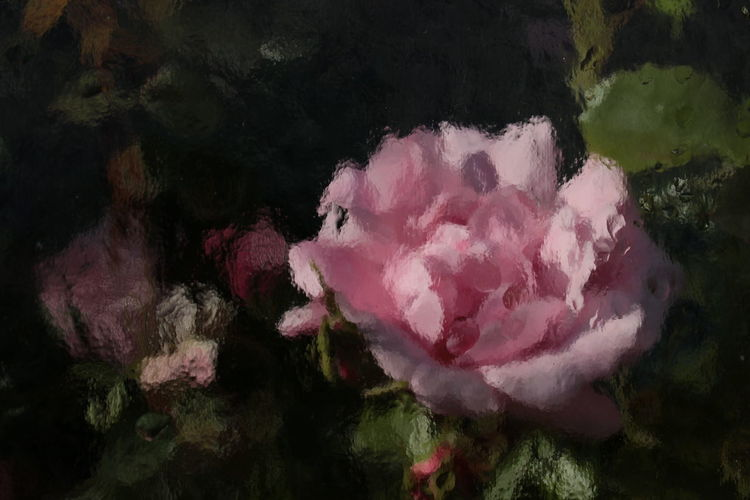 Close-up of pink rose flower in water