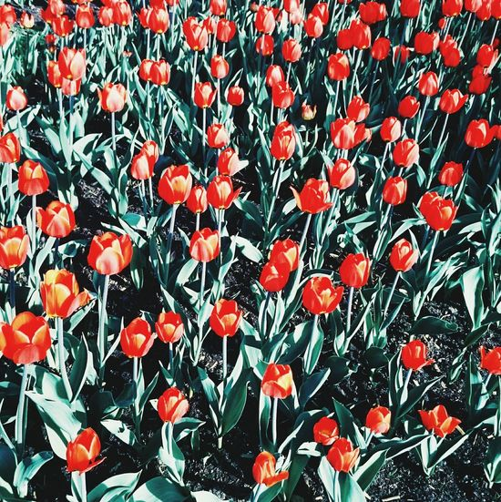 Tulips🌷 RAD Relaxing Moscow Love Flowers Aawwww MyLove❤ Sunny☀ Perfect