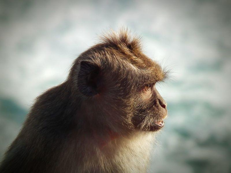 Temple Monkey LUMIX DMC FZ1000 Monkey Bali, Indonesia Ape Makaken Makake Animal Themes Wildlife Nature Photography Baboon Intelligence Ape Portrait Close-up Animal Body Part Animal Eye HEAD Animal Nose Primate Animal Hair Monkey