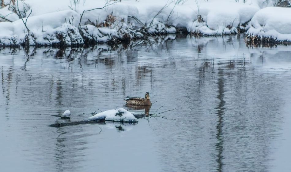 Pond Swimming The Week On EyeEm The Week on EyeEm Editor's Picks Tranquility Animal Themes Animal Wildlife Animals In The Wild Beauty In Nature Bird Cold Temperature Day Duck Female Duck Mallard Duck Nature One Animal Outdoors Pond Life Reflection Snow Water Waterfront Winter Winter Wonderland Shades Of Winter