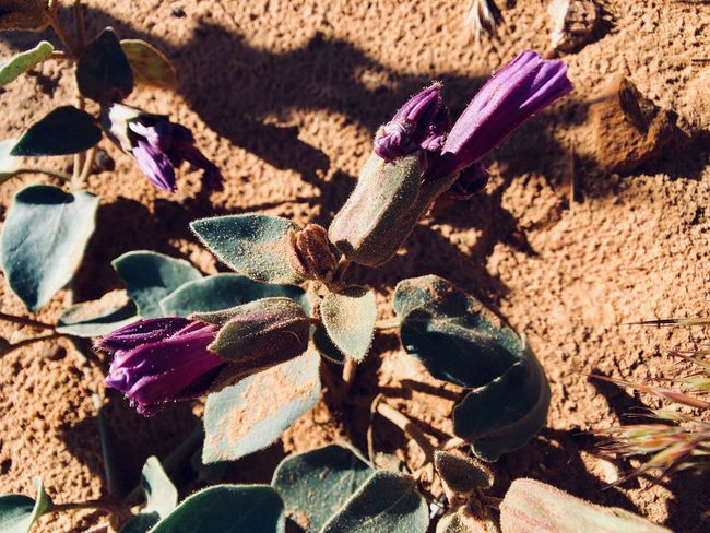 PurpleHaze Nature Sunlight Close-up No People Day Land Growth Plant Part Plant Beauty In Nature Succulent Plant Flower Solid Field Cactus Rock Shadow Outdoors Leaf High Angle View
