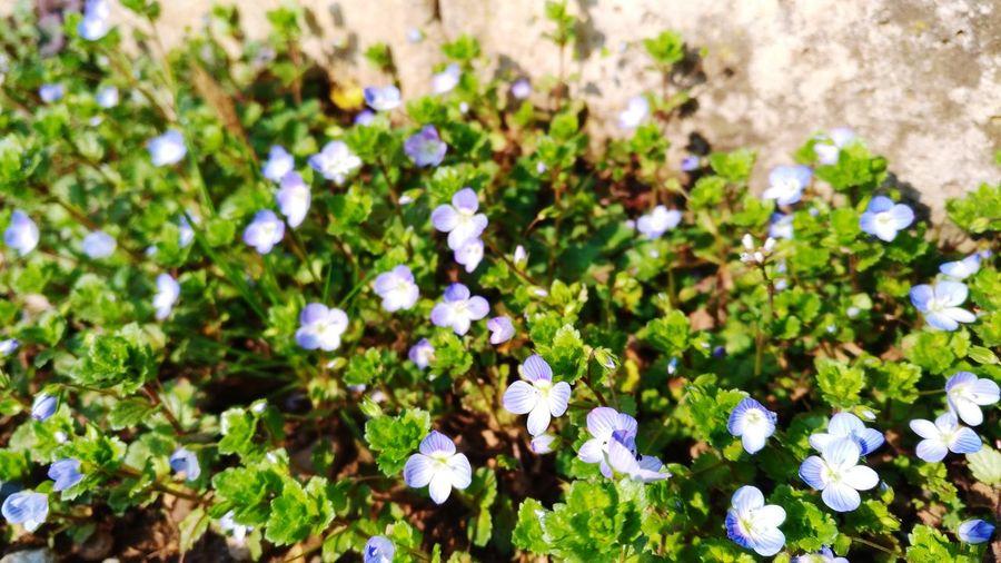 Мелкие голубые