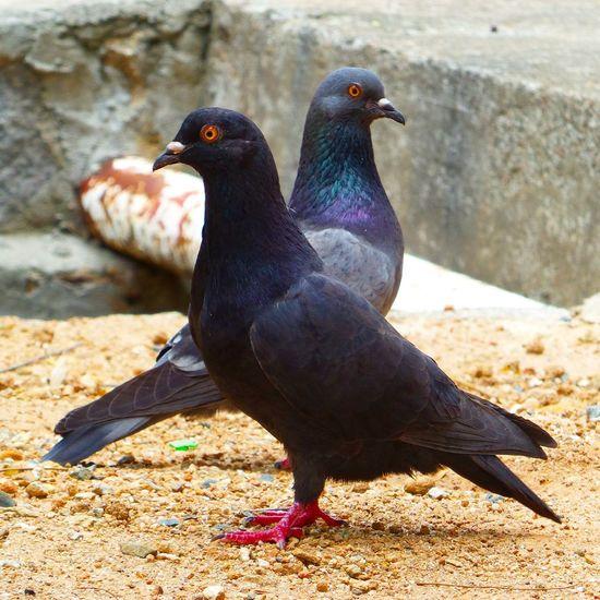 Pigeons Birds Eyephotograpghy Beautiful Animals