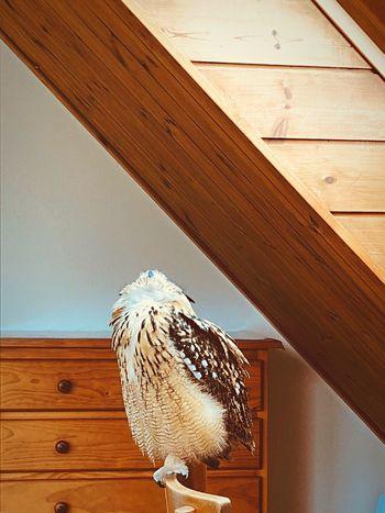 見上げて。 見上げる Rock Eagle Owl ベンガルワシミミズク フクロウ 猛禽類 モデル 静寂 光 やさしい 幸福 やわらかい 芸術 神秘 特別 神の子 自然 Wood - Material No People Bird Animal Day Animals In The Wild Animal Wildlife Nature One Animal House
