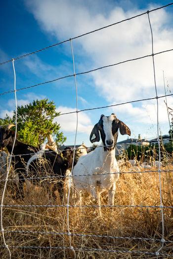 City Kid Animal Barrier Boundary Cloud - Sky Domestic Domestic Animals Fence Herbivorous Livestock Mammal Nature Plant