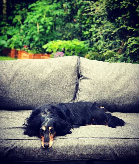 My baby in chill mode ! Chill Dog Dashund Teckel One Animal Animal Themes Animal Domestic Pets Domestic Animals