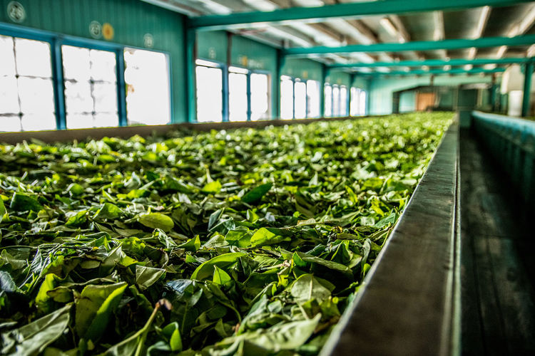 Tea Factory, Sri Lanka British Colony Close-up Day English Colonies Factory Freshness Green Color Growth Handpicked In A Row Indoors  Leaf Nature No People Production Line Tea Tea Leaves