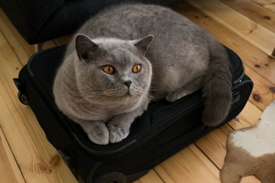 At Home British Shorthair Cat On Bag Chilling Companion Cuddling With My Kitty Domestic Animals Domestic Cat Don't Go Eyes Fluffy Gray Grey Longing Pets Portrait Of A Cat Separation Take Me With You Traveling Berlin