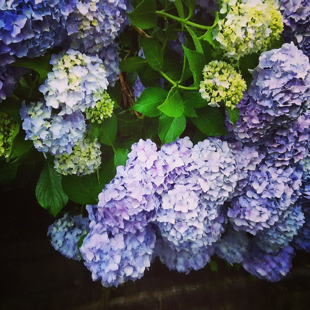 purple, hydrangea, growth, flower, beauty in nature, nature, leaf, freshness, plant, no people, day, fragility, outdoors, lilac, close-up, blooming, flower head