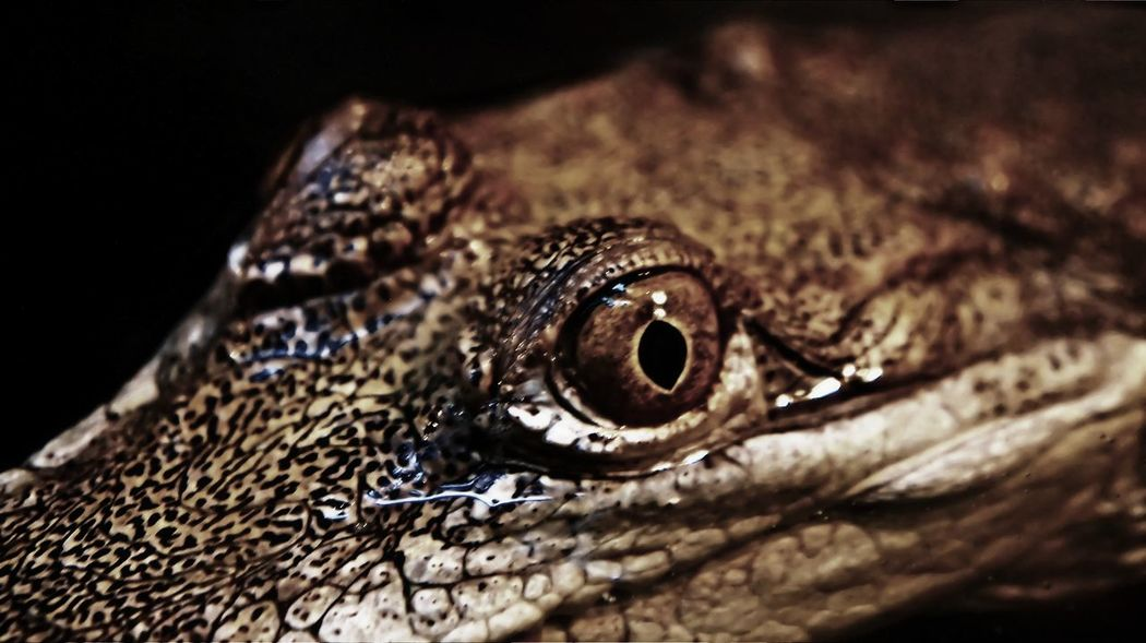 Aligator Animal Animal Eye Animal Head  Animal Themes Animal Wildlife Animals In The Wild Close-up Crocc Crocodile Crocodile Eyes Crocodileskin Day Eye Horizontal Nature No People One Animal Outdoors Reptile